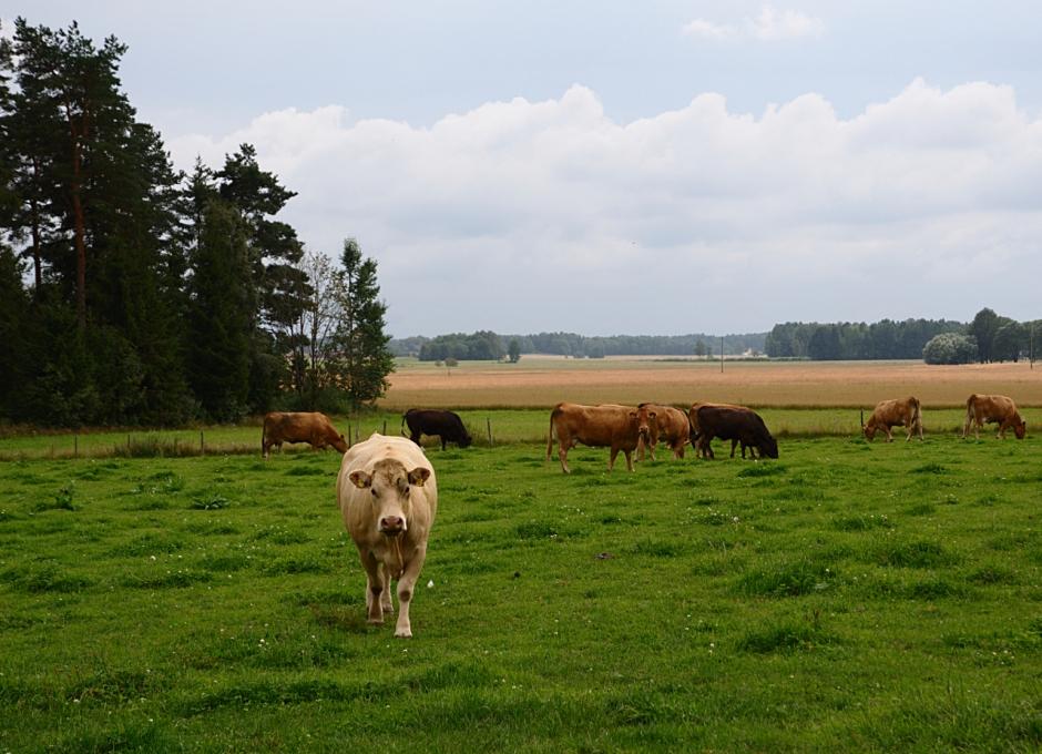 Småskalig djuruppfödning hos Jan Benjaminsson. Spannmålsodlingarna runt omkring tillhör inte gården.