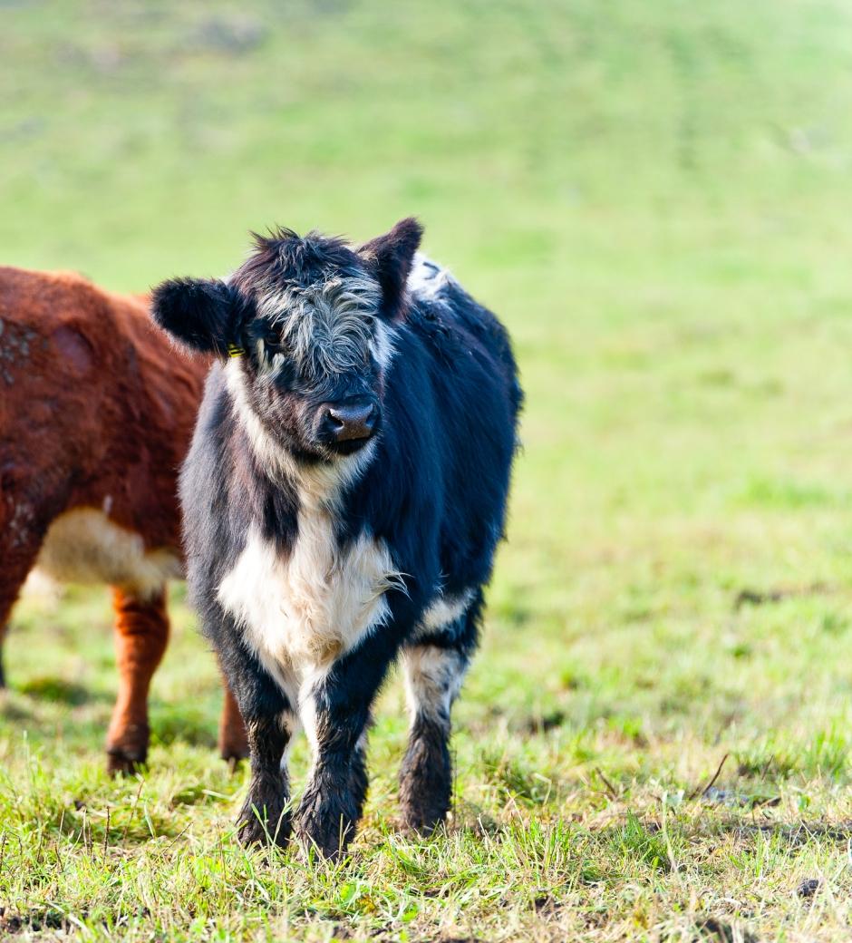 Felicia, nu med mer Highland cattle i sig